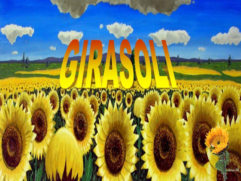 GIRASOLI <> <> <>