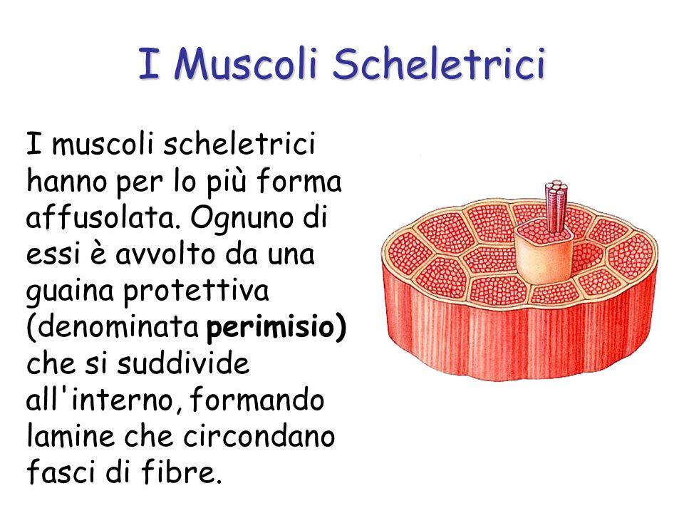 I Muscoli Scheletrici