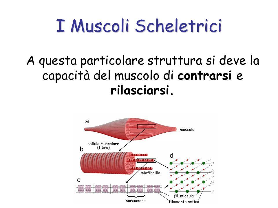 I Muscoli Scheletrici A questa particolare struttura si deve la capacità del muscolo di contrarsi e rilasciarsi.