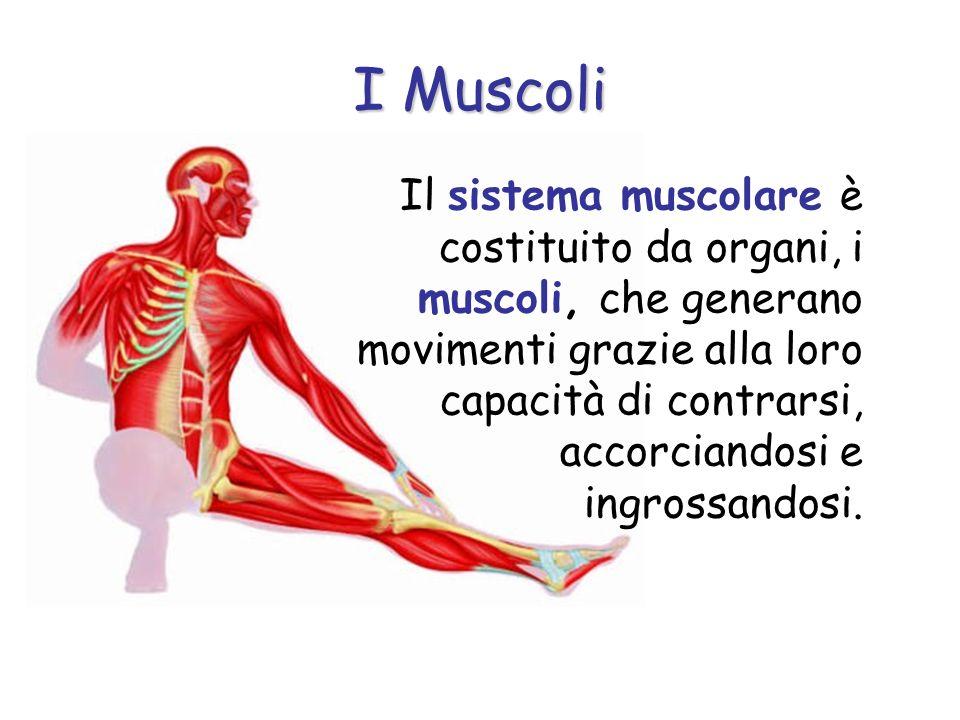 I Muscoli