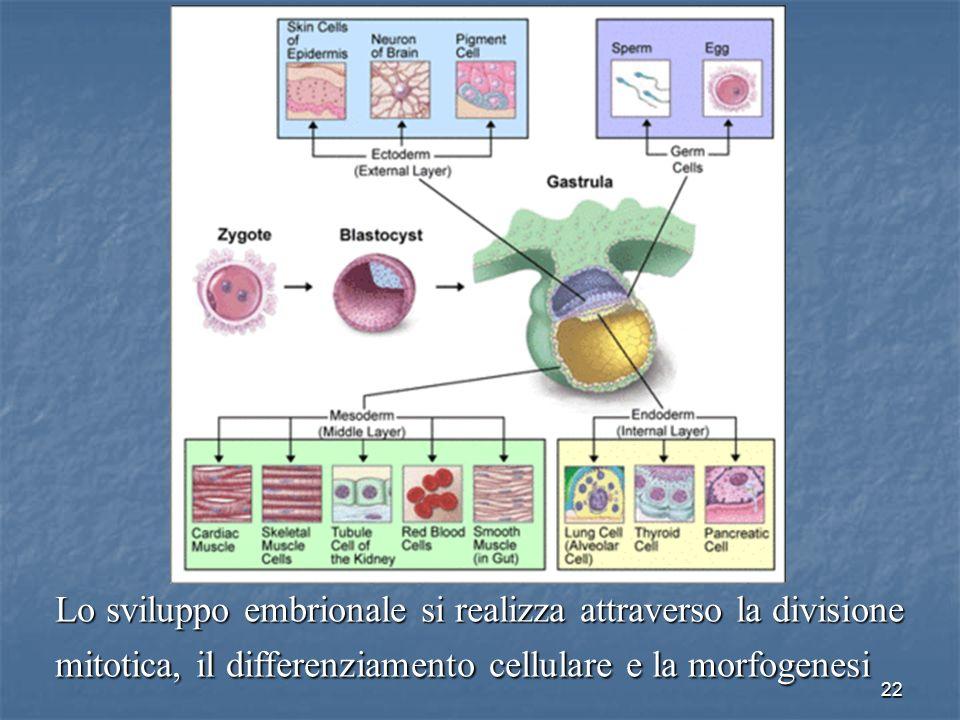 Lo sviluppo embrionale si realizza attraverso la divisione