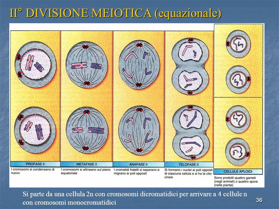 II° DIVISIONE MEIOTICA (equazionale)