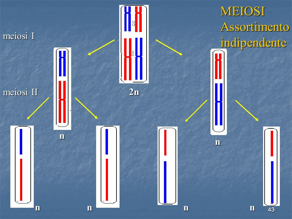 MEIOSI Assortimento indipendente 2n meiosi I n n meiosi II n n n n 8 1