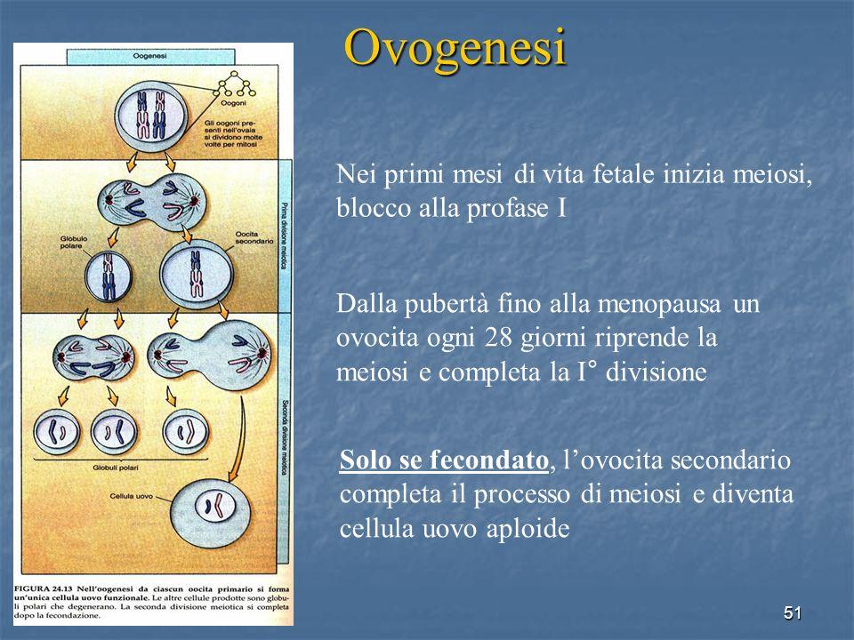 Ovogenesi Nei primi mesi di vita fetale inizia meiosi,