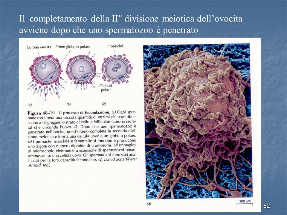 Il completamento della II° divisione meiotica dell'ovocita avviene dopo che uno spermatozoo è penetrato