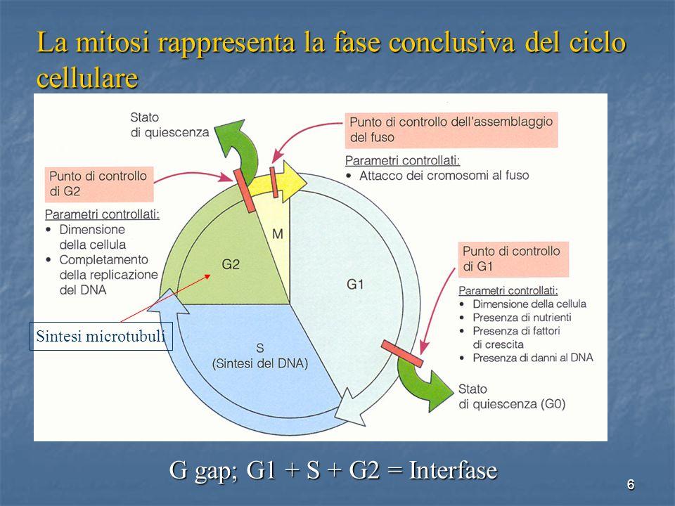 La mitosi rappresenta la fase conclusiva del ciclo cellulare