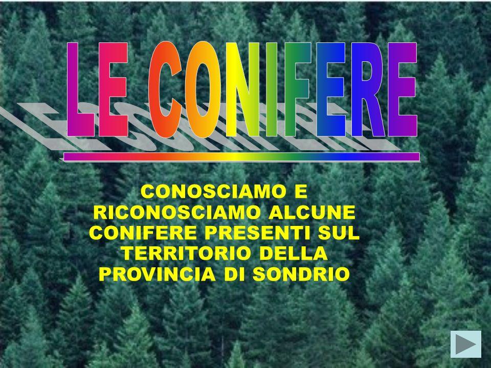 LE CONIFERE CONOSCIAMO E RICONOSCIAMO ALCUNE CONIFERE PRESENTI SUL TERRITORIO DELLA PROVINCIA DI SONDRIO.