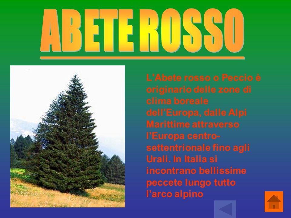 L Abete rosso o Peccio è originario delle zone di clima boreale dell Europa, dalle Alpi Marittime attraverso l Europa centro-settentrionale fino agli Urali. In Italia si incontrano bellissime peccete lungo tutto l arco alpino.