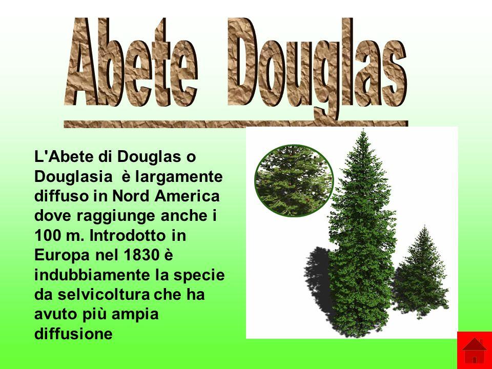 Abete Douglas