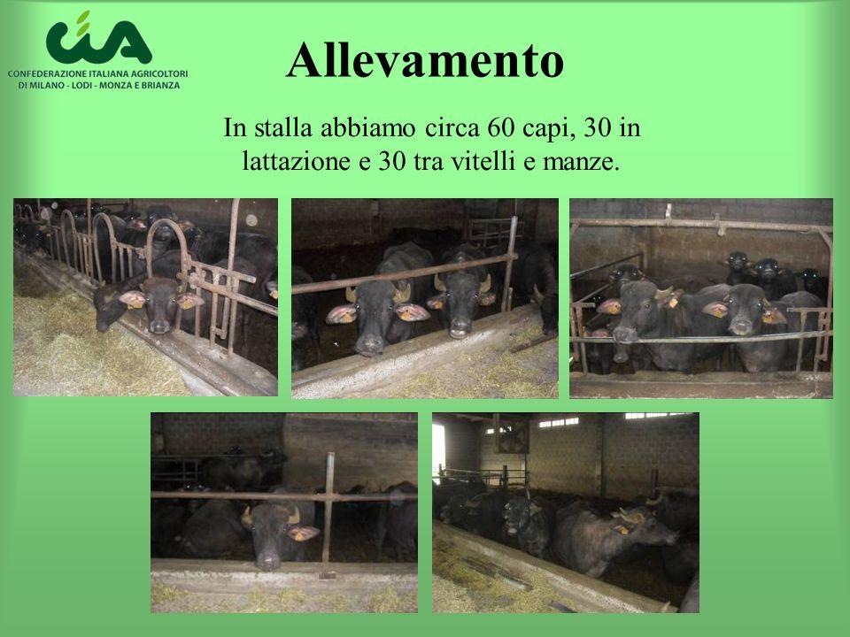 Allevamento In stalla abbiamo circa 60 capi, 30 in lattazione e 30 tra vitelli e manze.