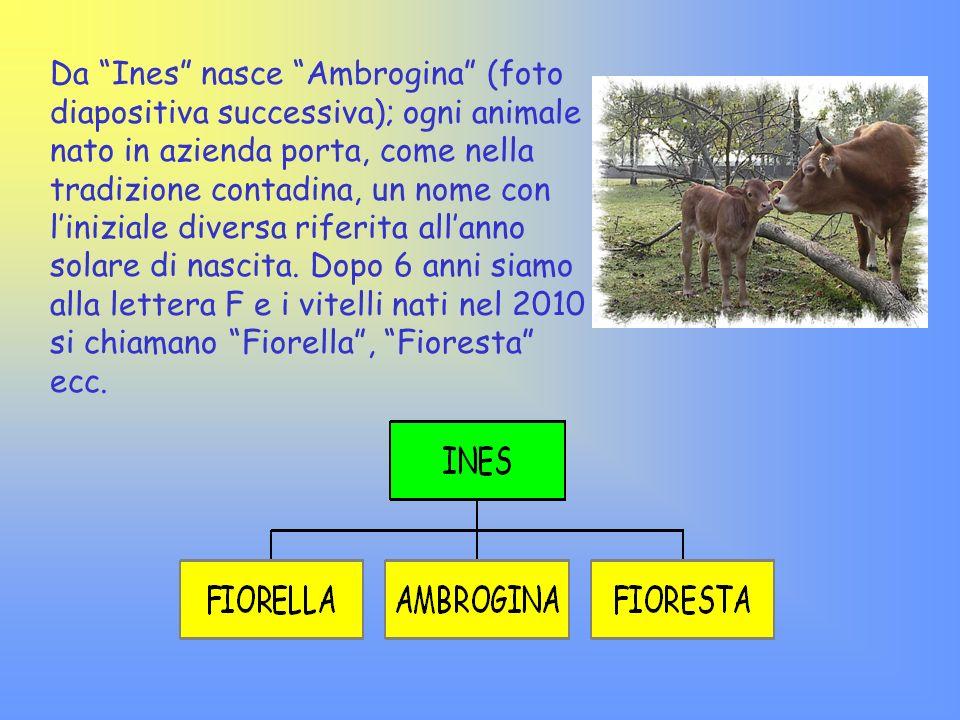 Da Ines nasce Ambrogina (foto diapositiva successiva); ogni animale nato in azienda porta, come nella tradizione contadina, un nome con l'iniziale diversa riferita all'anno solare di nascita.