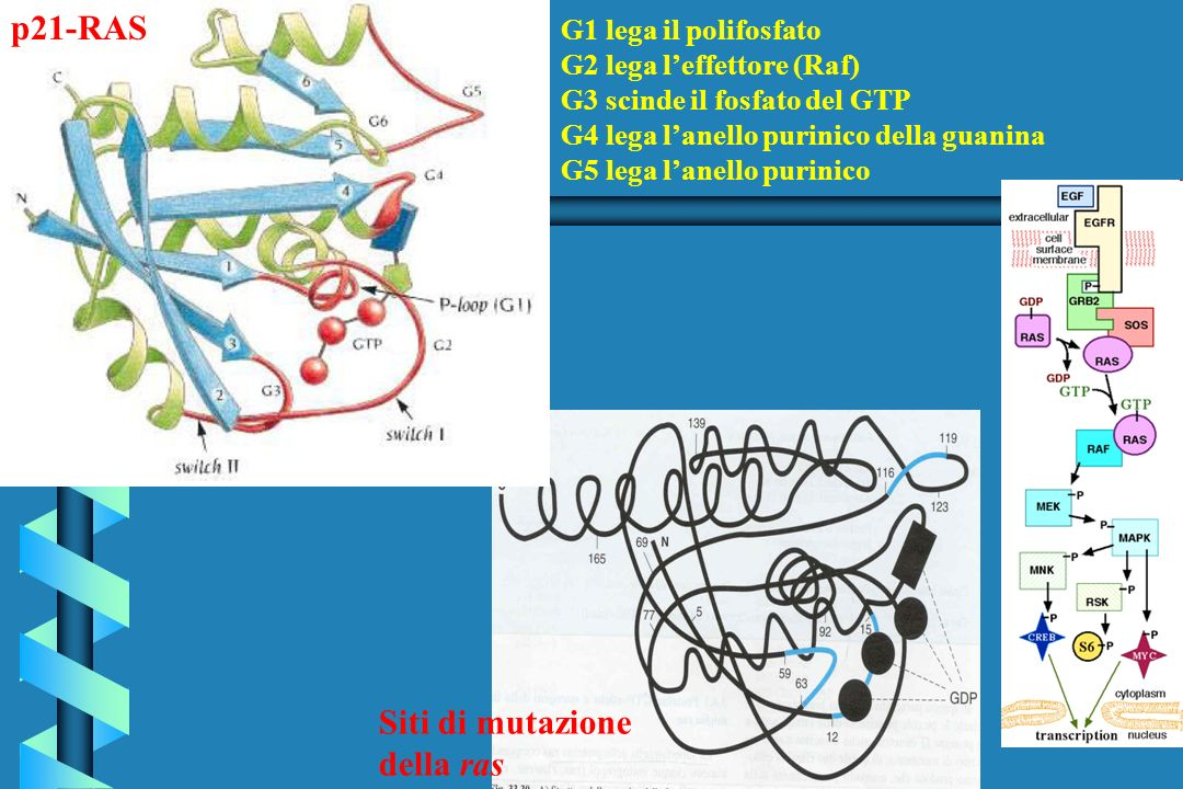 p21-RAS Siti di mutazione della ras G1 lega il polifosfato