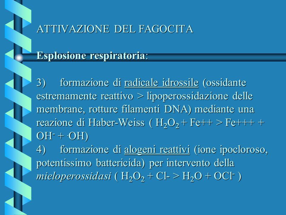 ATTIVAZIONE DEL FAGOCITA Esplosione respiratoria: 3) formazione di radicale idrossile (ossidante estremamente reattivo > lipoperossidazione delle membrane, rotture filamenti DNA) mediante una reazione di Haber-Weiss ( H2O2 + Fe++ > Fe+++ + OH- + .OH) 4) formazione di alogeni reattivi (ione ipocloroso, potentissimo battericida) per intervento della mieloperossidasi ( H2O2 + Cl- > H2O + OCl- )