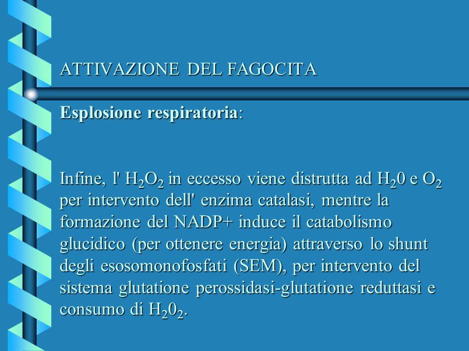 ATTIVAZIONE DEL FAGOCITA Esplosione respiratoria: Infine, l H2O2 in eccesso viene distrutta ad H20 e O2 per intervento dell enzima catalasi, mentre la formazione del NADP+ induce il catabolismo glucidico (per ottenere energia) attraverso lo shunt degli esosomonofosfati (SEM), per intervento del sistema glutatione perossidasi-glutatione reduttasi e consumo di H202.