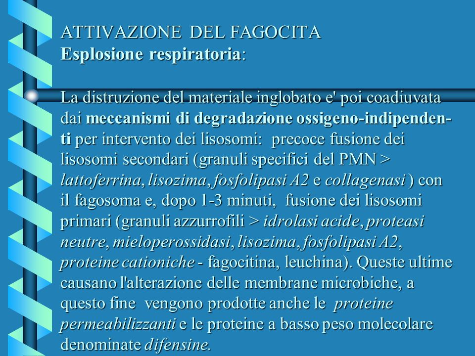 ATTIVAZIONE DEL FAGOCITA Esplosione respiratoria: La distruzione del materiale inglobato e poi coadiuvata dai meccanismi di degradazione ossigeno-indipenden-ti per intervento dei lisosomi: precoce fusione dei lisosomi secondari (granuli specifici del PMN > lattoferrina, lisozima, fosfolipasi A2 e collagenasi ) con il fagosoma e, dopo 1-3 minuti, fusione dei lisosomi primari (granuli azzurrofili > idrolasi acide, proteasi neutre, mieloperossidasi, lisozima, fosfolipasi A2, proteine cationiche - fagocitina, leuchina).
