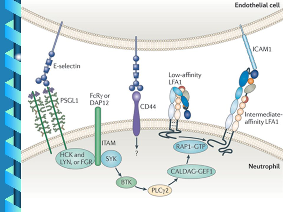 Signalling from E-selectin to its ligands P-selectin glycoprotein ligand 1 (PSGL1) and CD44 on neutrophils gives rise to a defined pathway consisting of a SRC family tyrosine kinase (FGR, or HCK and LYN), an immunoreceptor tyrosine-based activation motif (ITAM)-containing protein (Fc receptor γ-chain (FcRγ) or DAP12) and spleen tyrosine kinase (SYK).