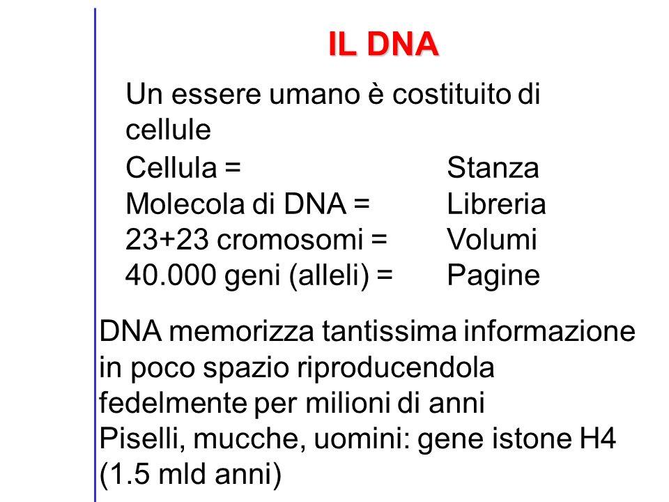IL DNA Un essere umano è costituito di cellule Cellula =