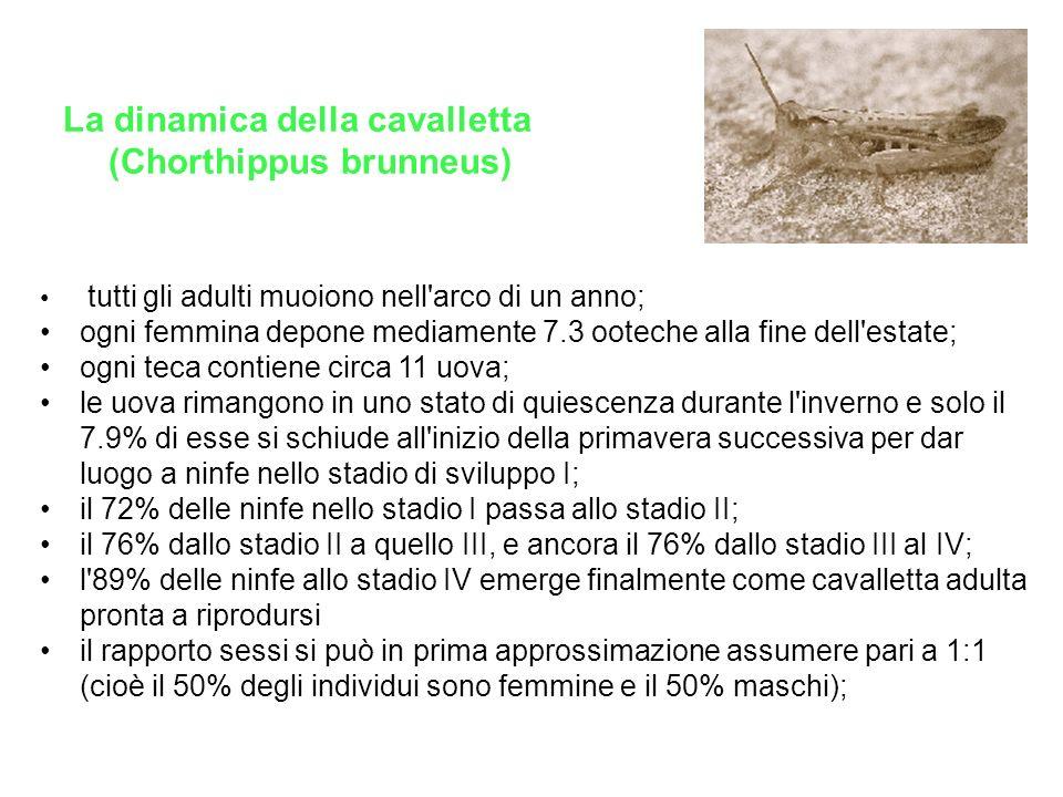(Chorthippus brunneus)
