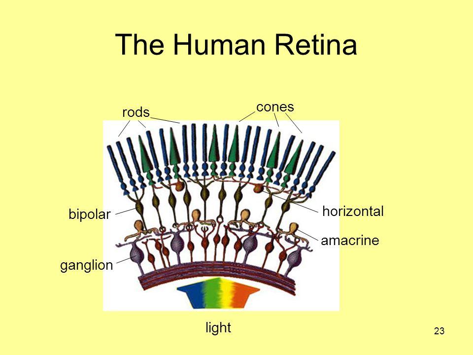 The Human Retina rods cones light bipolar ganglion horizontal amacrine