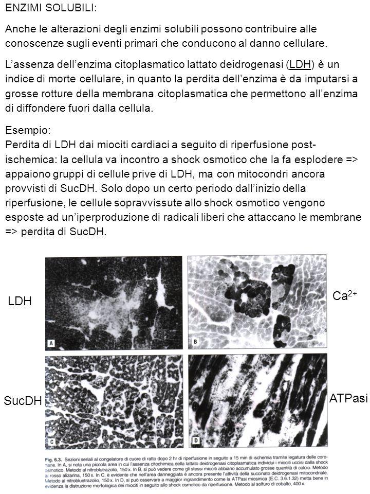 Ca2+ LDH ATPasi SucDH ENZIMI SOLUBILI: