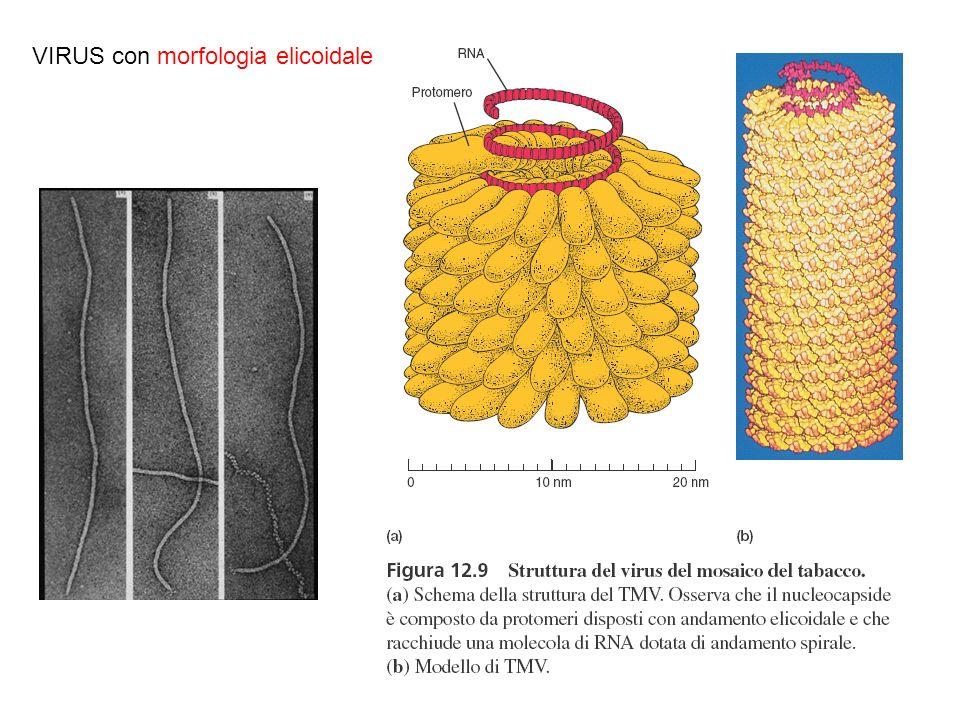 VIRUS con morfologia elicoidale