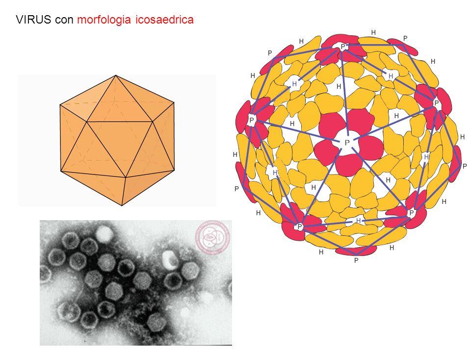 VIRUS con morfologia icosaedrica