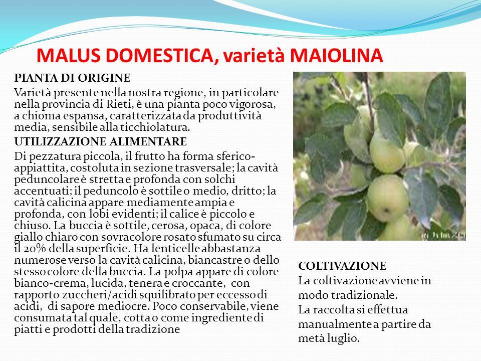 MALUS DOMESTICA, varietà MAIOLINA
