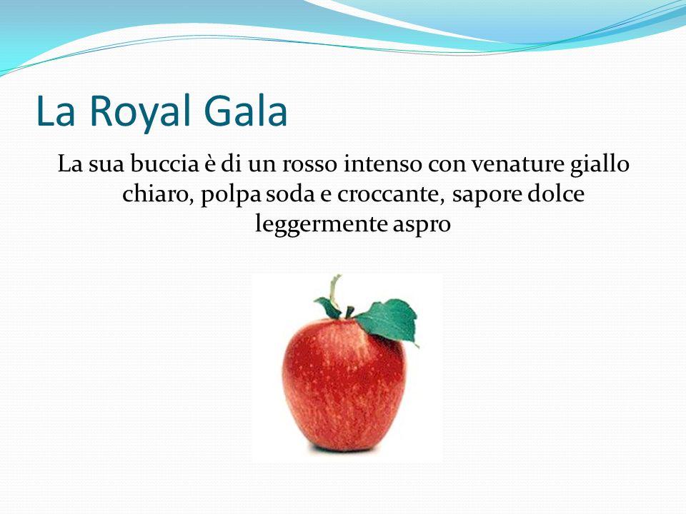 La Royal Gala La sua buccia è di un rosso intenso con venature giallo chiaro, polpa soda e croccante, sapore dolce leggermente aspro.