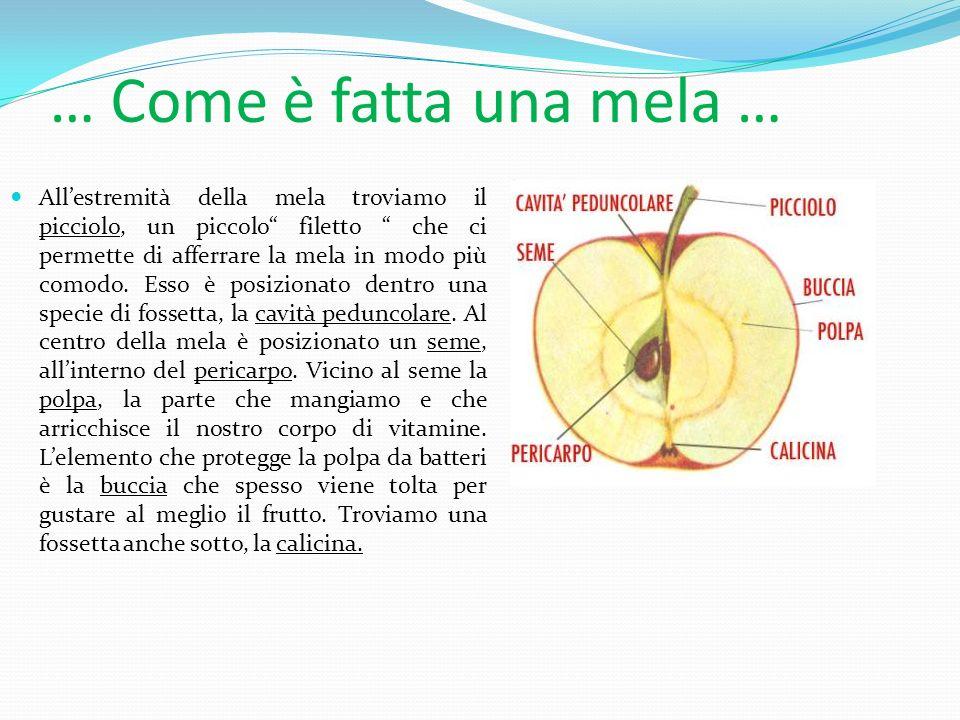 … Come è fatta una mela …