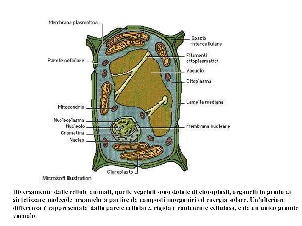 Diversamente dalle cellule animali, quelle vegetali sono dotate di cloroplasti, organelli in grado di sintetizzare molecole organiche a partire da composti inorganici ed energia solare.