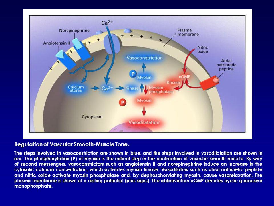 Regulation of Vascular Smooth-Muscle Tone.