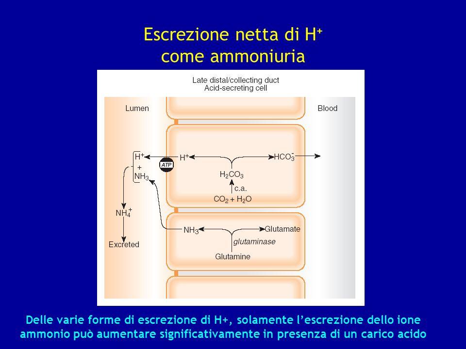 Escrezione netta di H+ come ammoniuria
