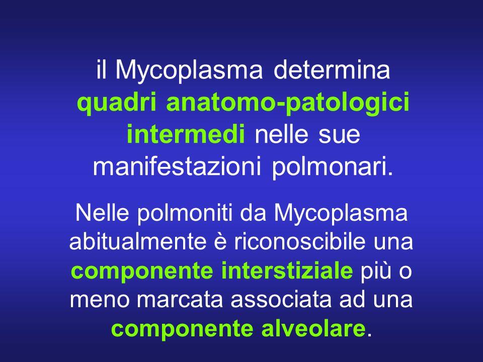 il Mycoplasma determina quadri anatomo-patologici intermedi nelle sue manifestazioni polmonari.