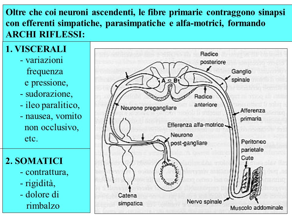 Oltre che coi neuroni ascendenti, le fibre primarie contraggono sinapsi