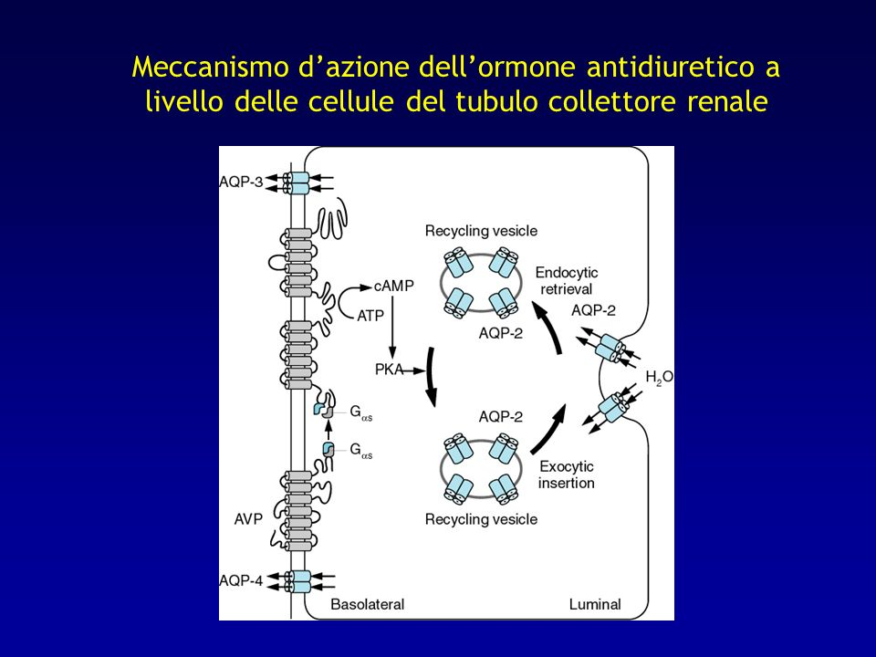 Meccanismo d'azione dell'ormone antidiuretico a livello delle cellule del tubulo collettore renale