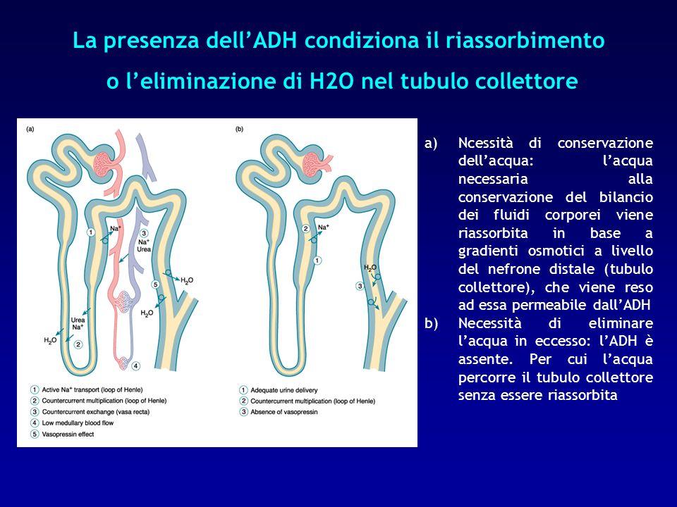 La presenza dell'ADH condiziona il riassorbimento