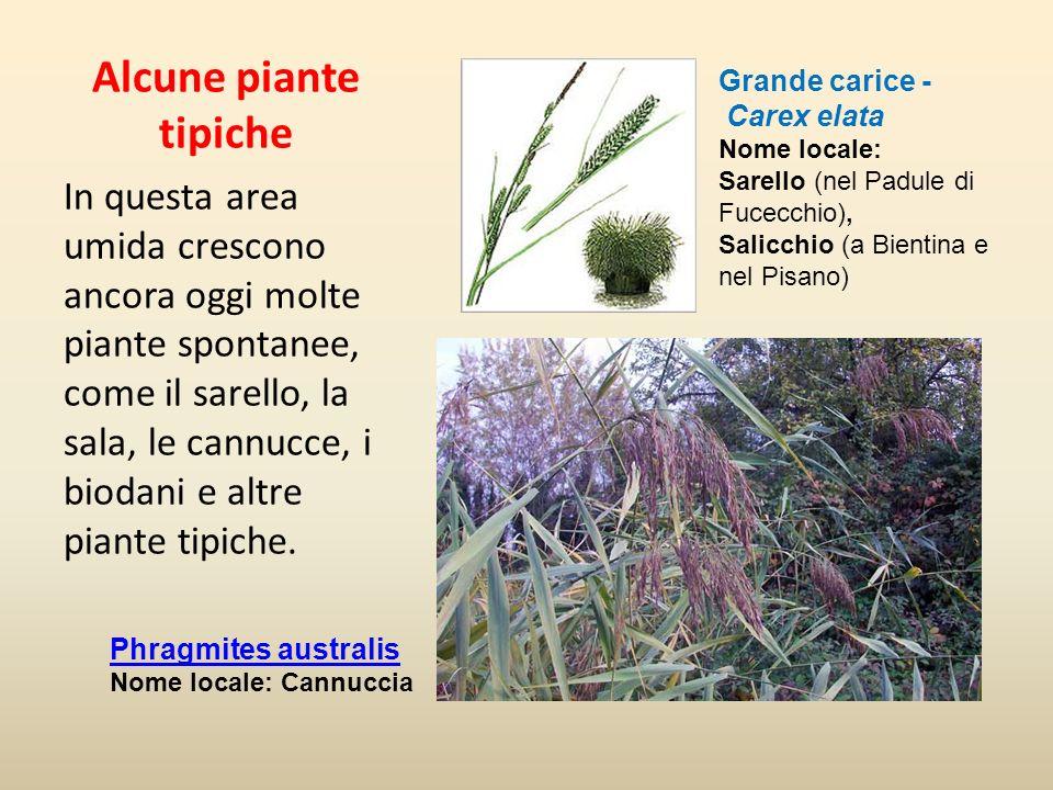 Alcune piante tipiche Grande carice - Carex elata Nome locale: Sarello (nel Padule di Fucecchio), Salicchio (a Bientina e nel Pisano)