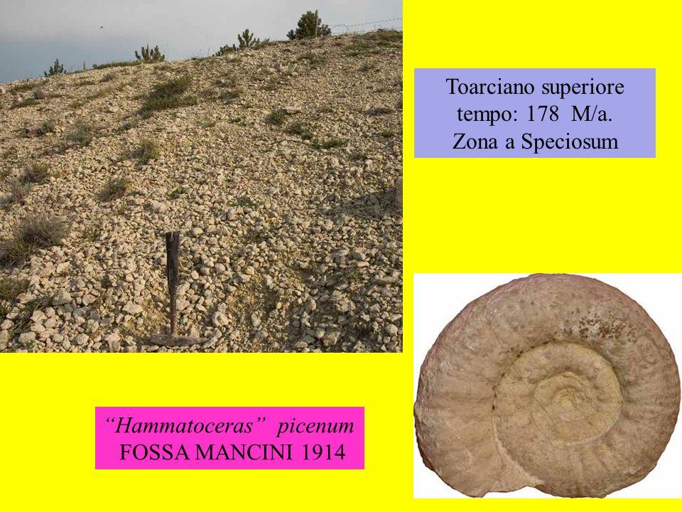 Toarciano superiore tempo: 178 M/a. Zona a Speciosum Hammatoceras picenum FOSSA MANCINI 1914