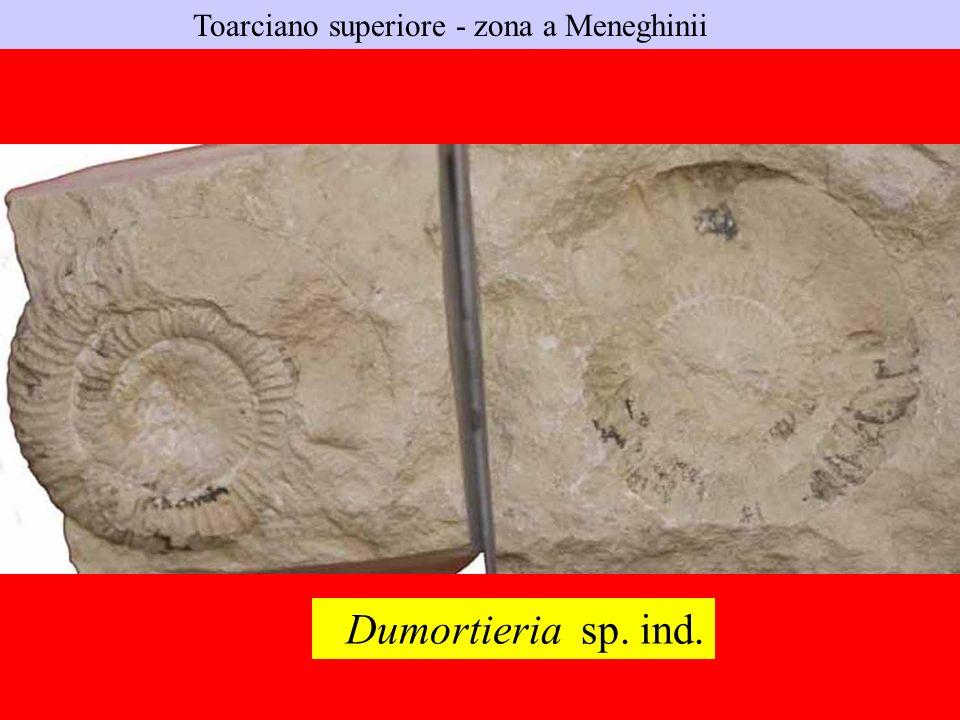 Toarciano superiore - zona a Meneghinii