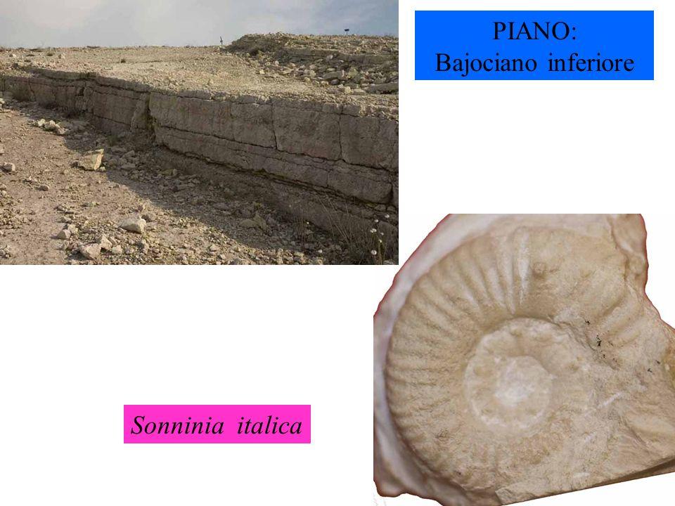 PIANO: Bajociano inferiore Sonninia italica