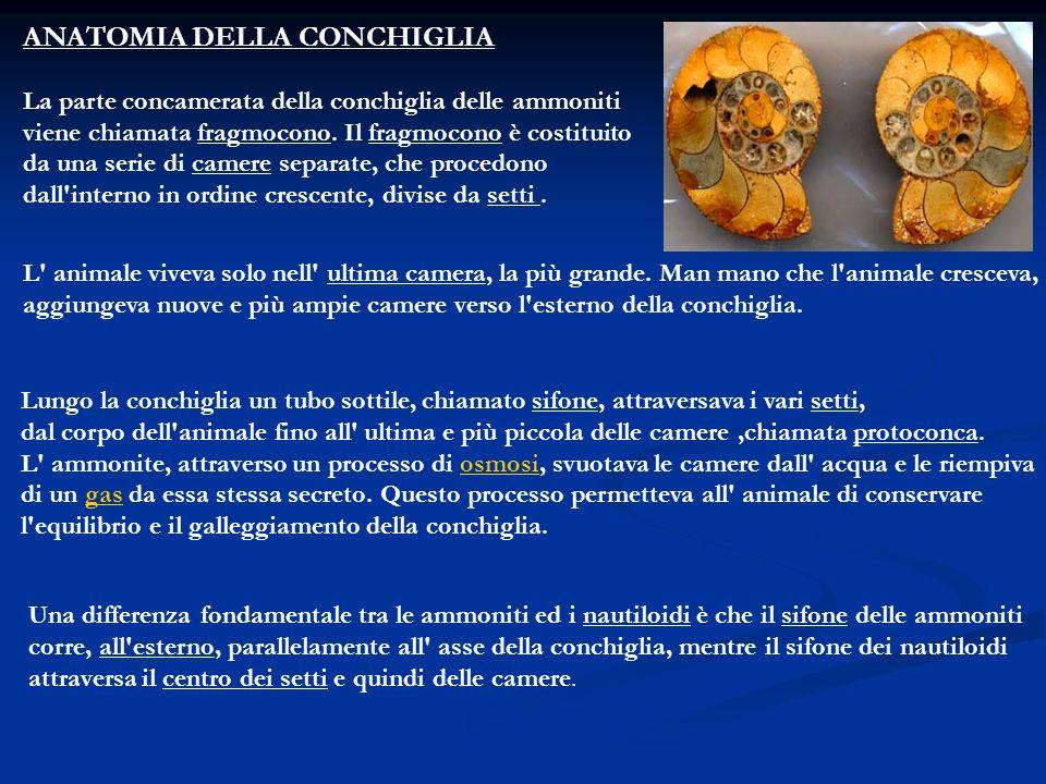 ANATOMIA DELLA CONCHIGLIA
