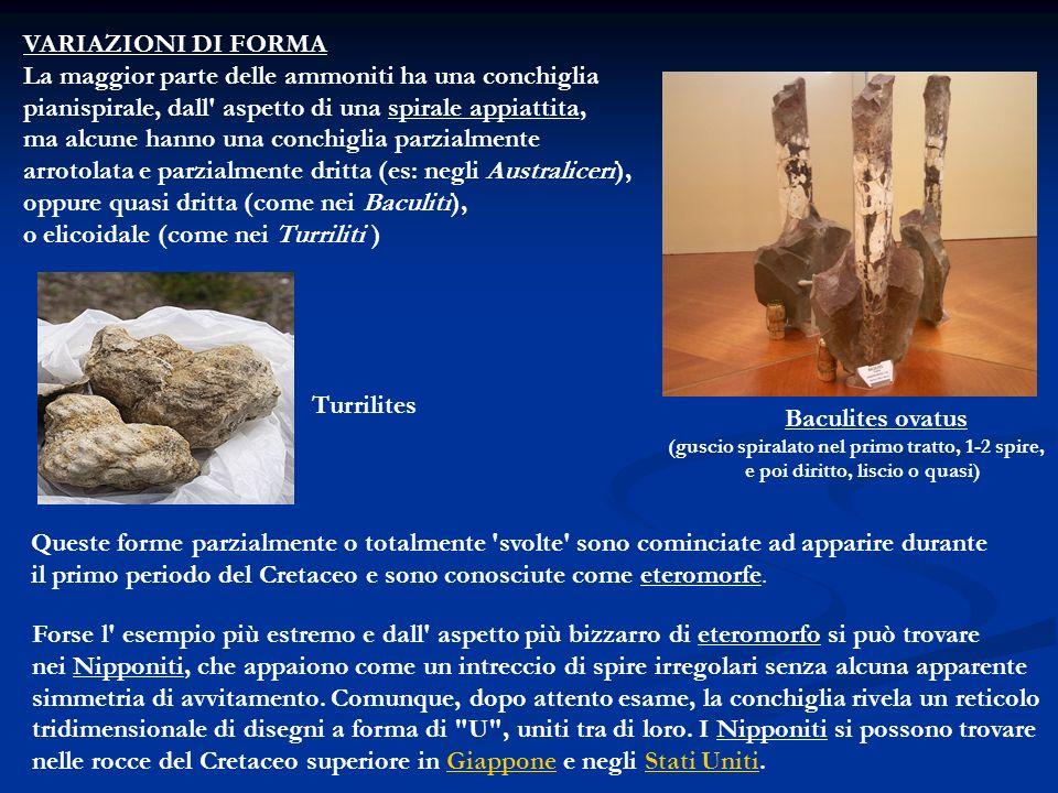 La maggior parte delle ammoniti ha una conchiglia