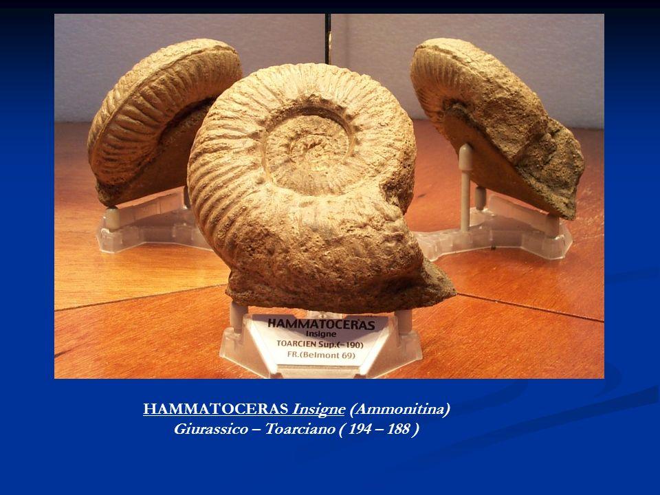 HAMMATOCERAS Insigne (Ammonitina) Giurassico – Toarciano ( 194 – 188 )