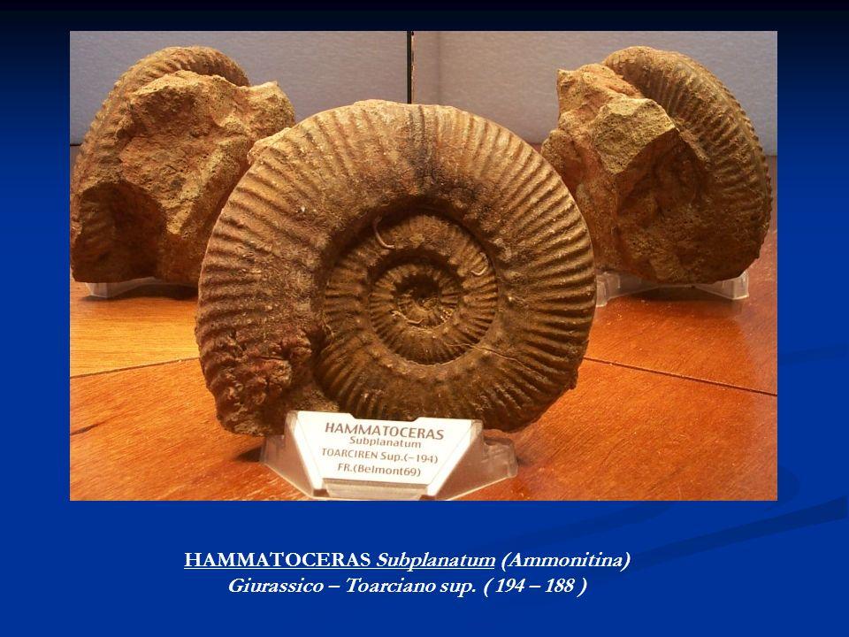 HAMMATOCERAS Subplanatum (Ammonitina)