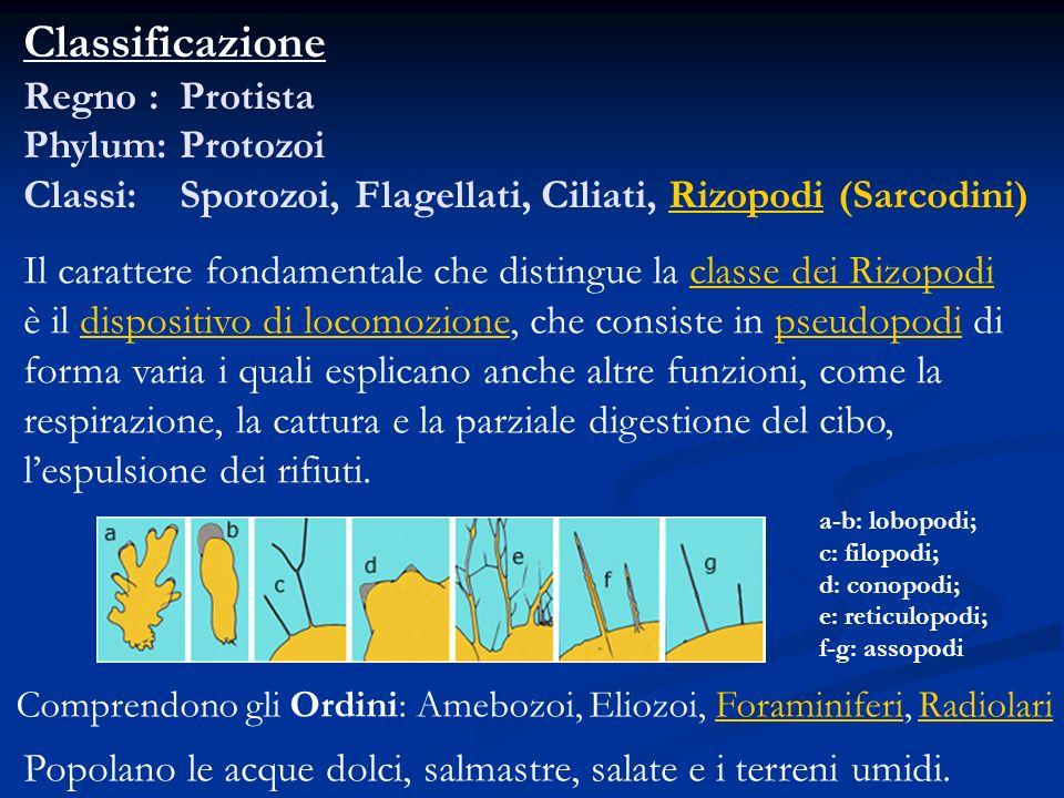 Classificazione Regno : Protista Phylum: Protozoi Classi: Sporozoi, Flagellati, Ciliati, Rizopodi (Sarcodini)