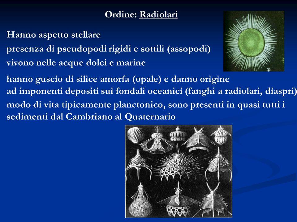 Ordine: Radiolari Hanno aspetto stellare. presenza di pseudopodi rigidi e sottili (assopodi) vivono nelle acque dolci e marine.