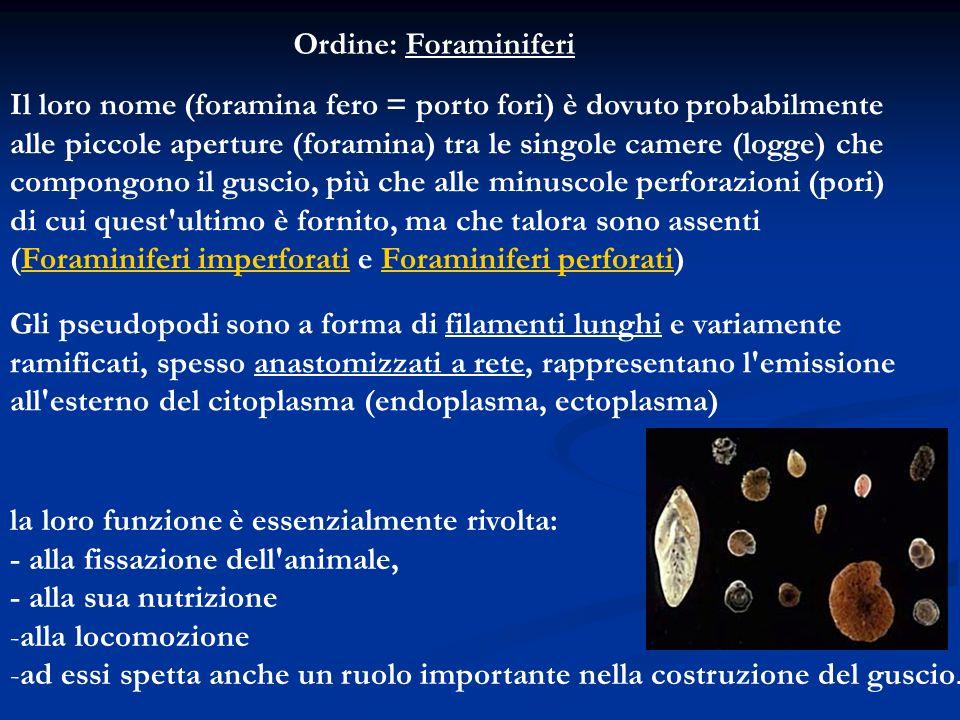 Ordine: Foraminiferi Il loro nome (foramina fero = porto fori) è dovuto probabilmente.