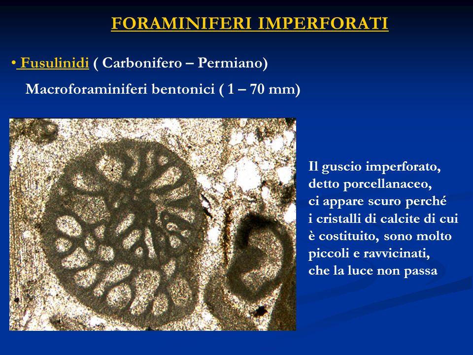 Fusulinidi ( Carbonifero – Permiano)
