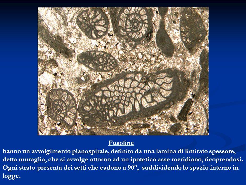 Fusoline hanno un avvolgimento planospirale, definito da una lamina di limitato spessore,
