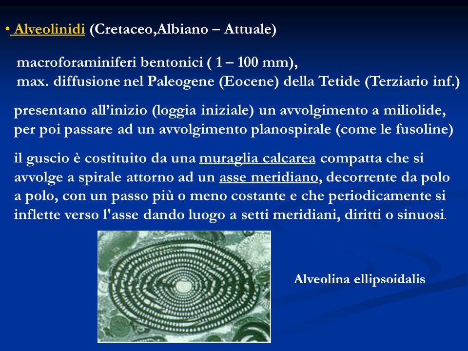 Alveolinidi (Cretaceo,Albiano – Attuale)
